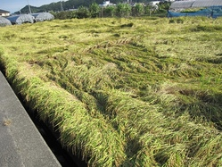 倒れた米畑