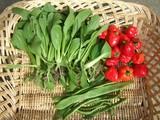 ベンリ菜収穫