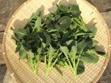 スティックブロッコリー収穫