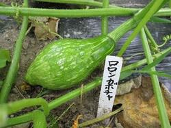 ロロンカボチャの幼果