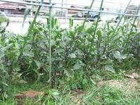 水茄子の畝