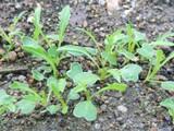 水菜の本葉