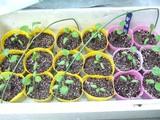 水ナスポット植え