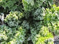 霜ワサビ菜