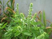 バジルに白い花