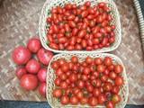 トマト絶好調.