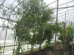 本鷹トウガラシ木