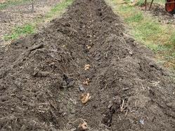 生姜植え付け