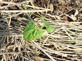 ジャンボサヤエンドウの発芽3