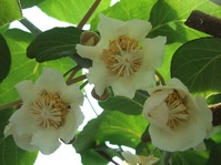 キュウイの開花