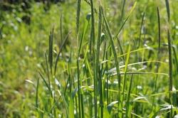 ライ麦の出穂