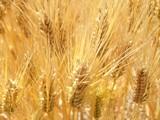 黄金色の小麦