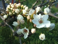 梨の開花初め