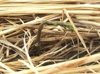 山芋の発芽