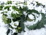 雪のキャベツ