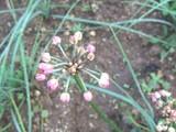 エシャロットの花