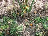 サヤエンドウの種蒔2