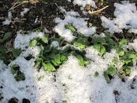 雪のホウレン草