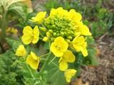 ナバナの花
