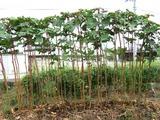赤オクラの木