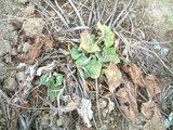 葉ゴボウの発芽