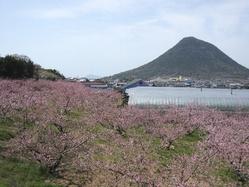 飯山町の桃畑