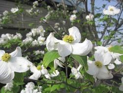 花ミズキの花