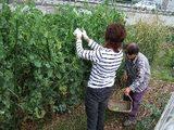 2人でサヤエンドウの収穫