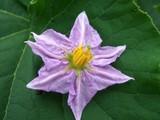 賀茂茄子の花