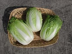 白菜収穫1