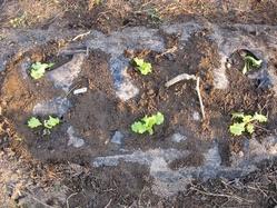 レタス植え付け