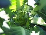 ブロッコリーの幼果