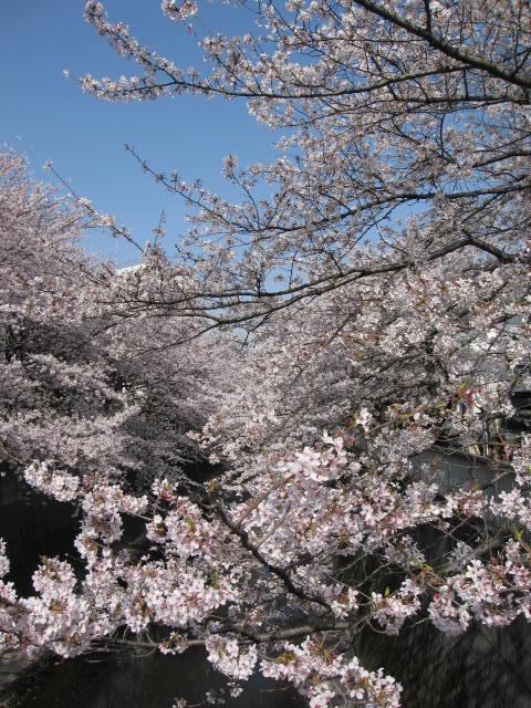 神田川の桜1