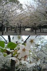 桜はすぐに散ってしまうから