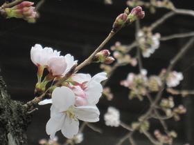 桜のつぼみ 2013