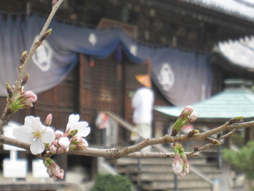 2013 桜と遍路