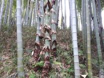 180502竹皮が落ちる1