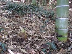 0804密度管理2年生竹に近接タケノコ
