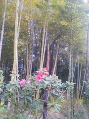 縮小国際竹の子とシャクナゲ咲く竹林