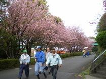 090414八重ザクラ関山(カンザン)