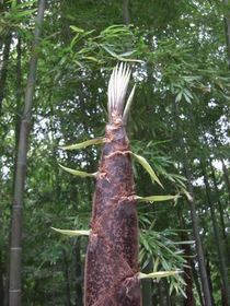 080504林浴の庭 竹林の生育