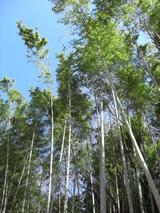 080216こどもの国 青空の竹林