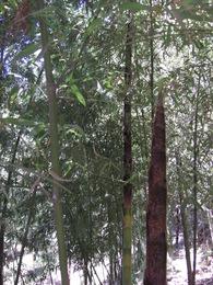 080506横国Pマダケ林に出たモウソウチク