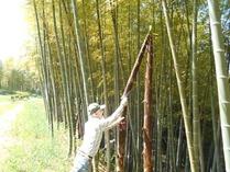 穂先筍収穫竹水仕込