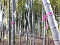 200305間伐待つ竹1