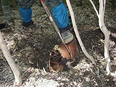0804親竹の密度管理3