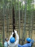 110501穂先筍収穫