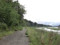 081001愛知川右岸の延々と続く竹林