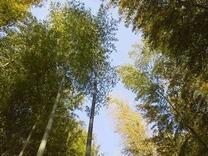 4月中旬 笹葉の落葉近し