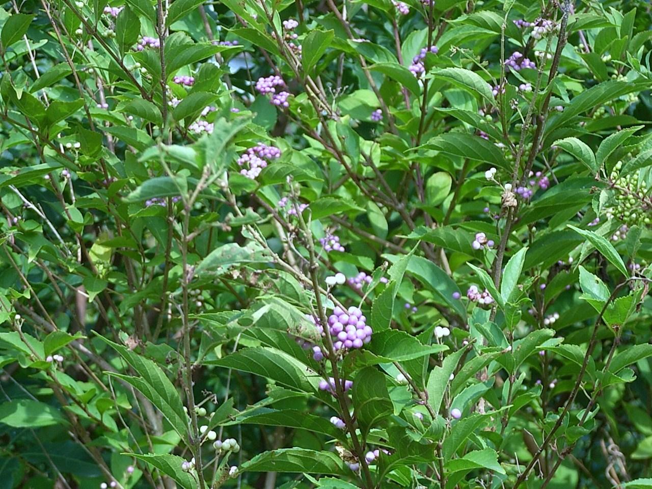紫式部と千日紅の花  花と短歌と竹原と